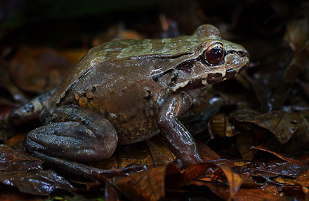 Savages Bull Frog