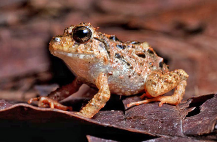 Pacific broad litter Frog