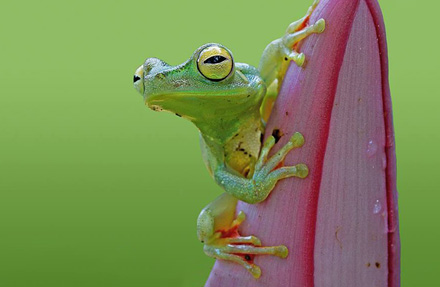 Red Weebed Tree Frog