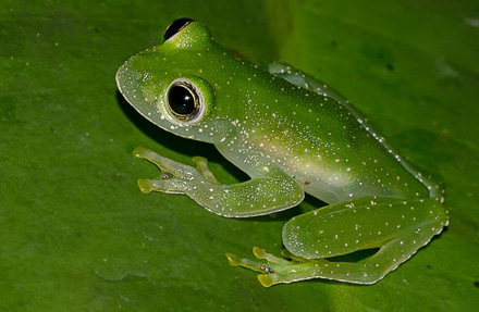 Speckled Glass Frog