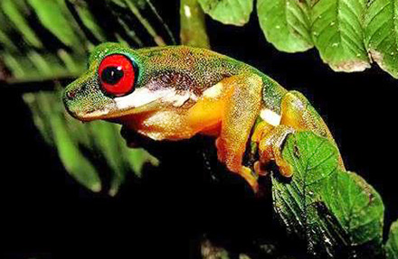 White-Bellied Stream Frog