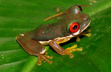 Red-Eyed Stream Frog