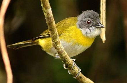 Ashy-throated Bush-Tanager