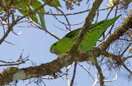 Barred Parakeet