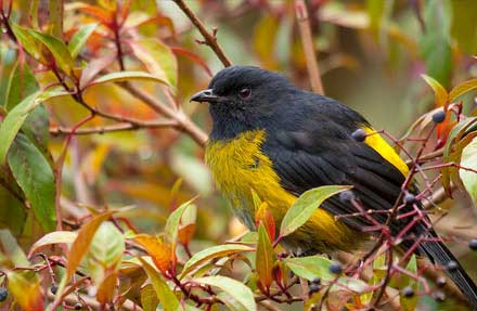 Black-and-yellow Silky-Flycatcher