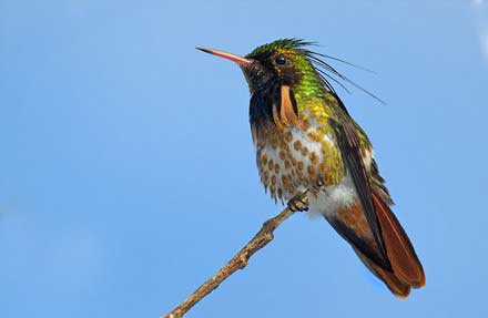 Black-crested Coquette