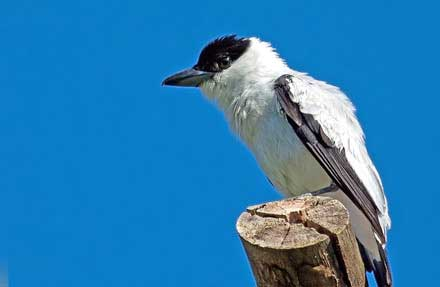 Black-crowned Tityra
