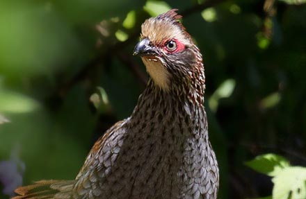 Buffy-crowned Wood-Partridge