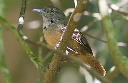 Checker-throated Stipplethroat