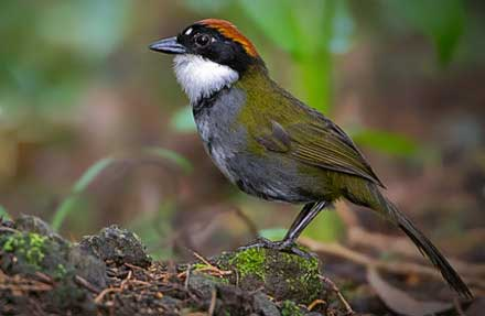 Chestnut-capped Brushfinch. antes [Chestnut-capped Brush-Finch ]