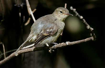 Cocos Flycatcher