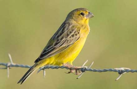 Grassland Yellow-Finch