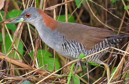 Gray-breasted Crake