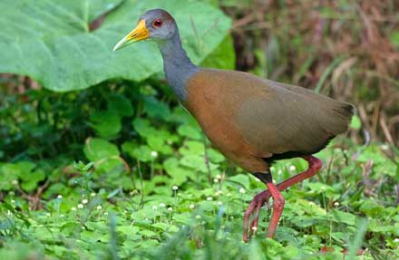 Gray-cowled Wood-Rail antes [ Gray-necked Wood-Rail ]