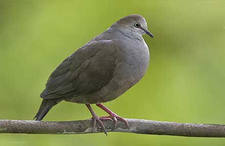 Gray-headed Dove