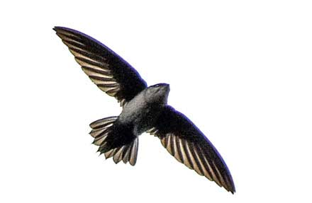 Gray-rumped Swift
