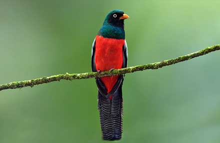 Lattice-tailed Trogon