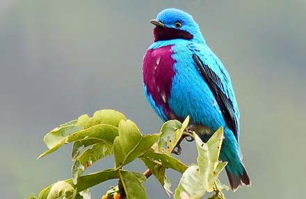 Lovely Cotinga