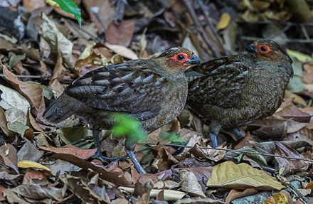 Marbled Wood-Quail