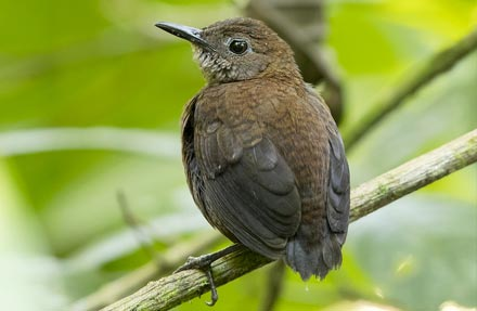 Nightingale Wren