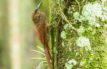 Northern-barred Woodcreeper