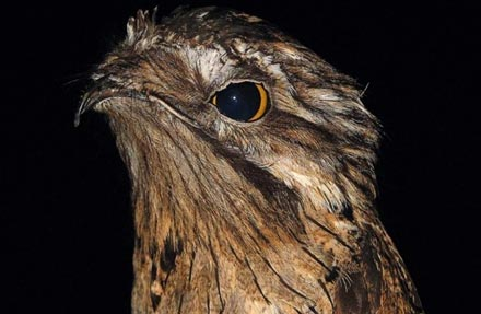 Northern Potoo