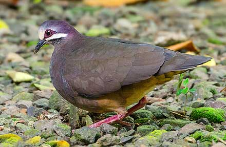 Olive-backed Quail-Dove
