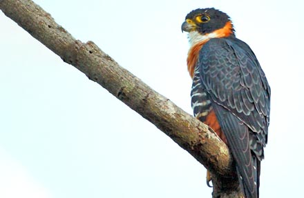 Orange-breasted Falcon