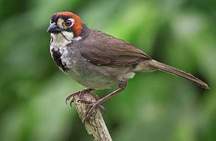 Prevots Ground-Sparrow