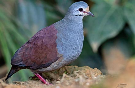 Purplish-backed Quail-Dove