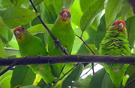Red-fronted Parrotlet