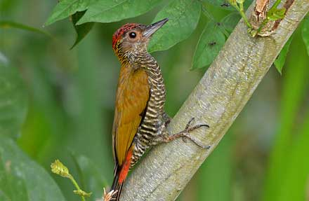 Red-rumped Woodpecker