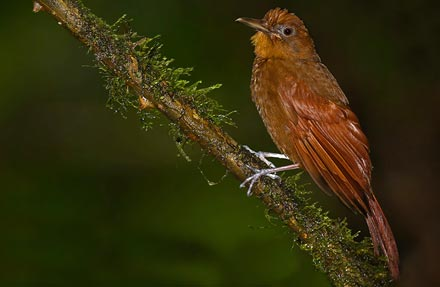 Ruddy Woodcreeper