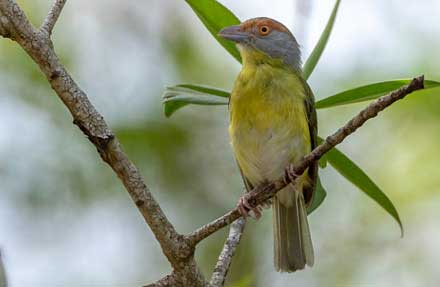 Rufous-browed Peppershrike