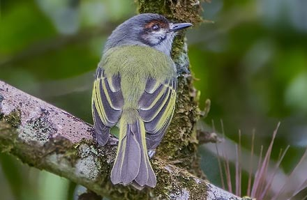 Rufous-browed Tyrannulet