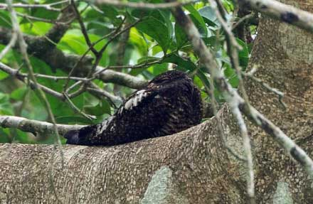 Short-tailed Nighthawk