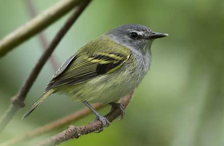 Slate-headed Tody-Flycatcher