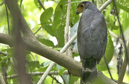 Slaty-backed Forest-Falcon