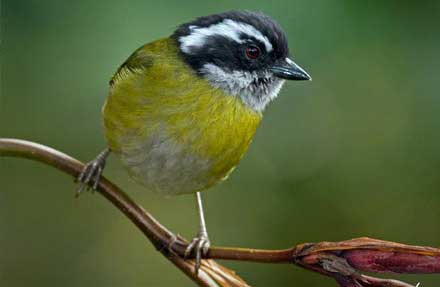 Sooty-capped Chlorospingus [Antes Bush-Tanager ]