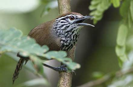 Spot-breasted Wren