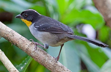 White-naped Brushfinch antes [ White-naped Brush-Finch ]