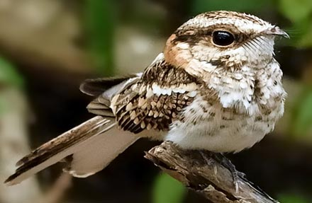 White-tailed Nightjar