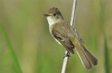 White-throated Flycatcher