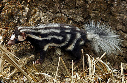 Southern Spotted Skunk