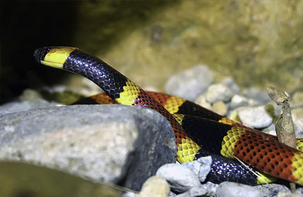 Central American Coralsnake
