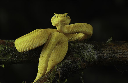 Eyelash Palm-Pitviper